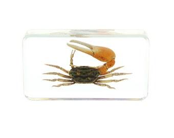 Reddish Fiddler Crab Paperweight
