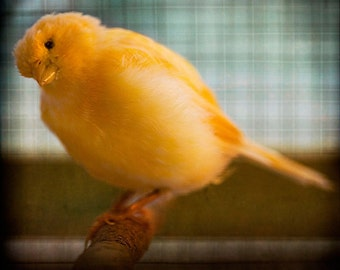 Yellow Blue Canary Photograph--Hello Canary--Fine Art