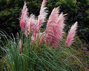 Colorful Pampas Grass Cortaderia Seeds Cheap 500 Seeds (Item No: 4)