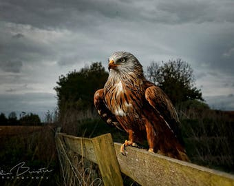 Red Kite Poised... Print, Canvas or Wall Acrylic...