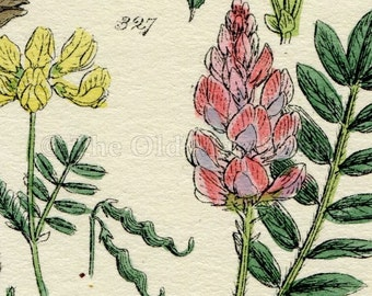 Antique Botanical Print of Wild Flowers, 1914 John Sowerby Milk Vetch, Yellow Vetch, Wood Vetch, Hand-Coloured Flower Plate (321 to 340)