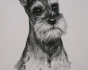 Miniature Schnauzer Terrier dog dog gift fine art LE print from an original charcoal available unmounted or mounted ready to frame