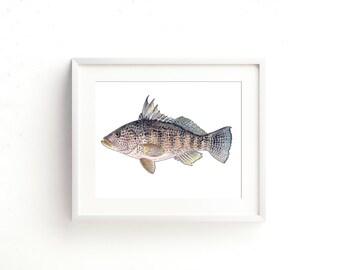 Black Sea Bass Watercolor Fine Art Print