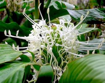 White Ginger hedychium Thyrsiforme Tropical plants Rhizome / Bulb