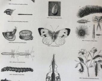 1856 Large Original Antique Insect Engraving - Cabbage Butterfly, Caterpillar, Moth, Tiger Moth, Spiny Caterpillar - Entomology - Wall Decor