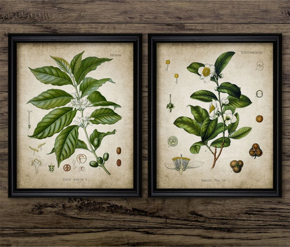 Tea & Coffee Plant Print Set Of 2