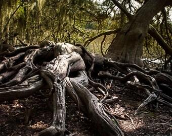 Forest Photography, Gnarled Tree Roots, Tree Photograph, Nature Fine Art Print, Savannah Georgia Coast, Forest Print, Coastal Georgia