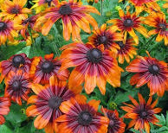 PBRU)~AUTUMN FOREST Rudbeckia~Seeds!!!!~~~~~~~~Rich, Rustic Colors!!