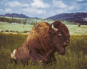 American Bison Print \ Buffalo Wall Art / Southwestern Decor \ Animal Photography / Oklahoma Prairie Wildlife