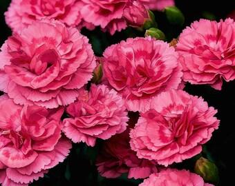 Carnation, Flower Image, Garden Art, Garden Photos, Pink on Black Image, Pink Carnation Photo,