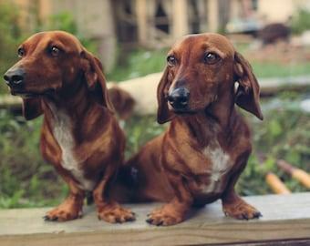 dachshund Digital Download