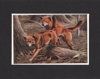 Dingo Print 1919 Vintage Dog Print by Louis Agassiz Fuertes Small Picture Mounted Dingo Dog Print Dingo Picture Australian Dingo dingoes