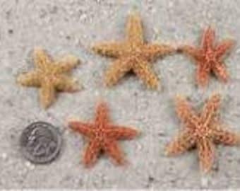 Bulk Authentic Sugar Starfish - Coastal Beach Decor Wedding and Floral Supplies and Photo Shoot Prop