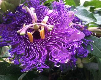 Passiflora Temptation beautiful deep violet blossoms 10 seeds