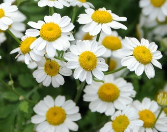 German Chamomile Herb Heirloom Seeds - Non-GMO, Open Pollinated, Untreated