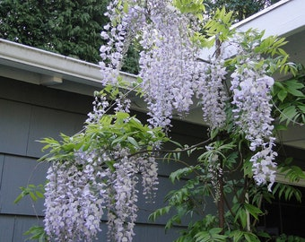 Wisteria floribunda Anwen 8-10 inches tall, grafted plant, New Variety