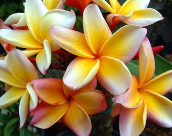 Penang Peach Plumeria-Fine Art Photo Blank Greeting Card--Suitable for Framing-Copyright Protected
