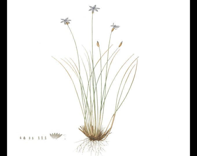 Instant Download, Botanical Flower, Purple, Printable Wall Art, Antique Botanical, Illustration, Flower Art, Shabby Chic, Cottage Decor #1