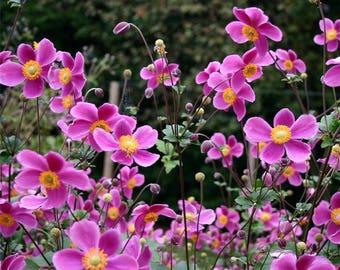 20 Anemone hupehensis Seeds, Japanese anemone Seeds