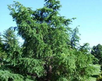 100 Japanese Larch Tree Seeds, Larix Leptolepsis