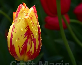Red Speckled Yellow Tulip Matted Print
