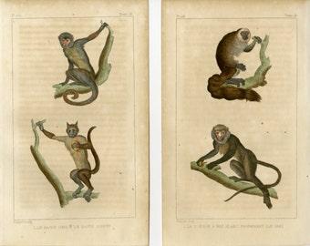 1830 Antique Monkey Print - Guenon Monkey Wall Art - Set of 2 Buffon Engravings Ornithology Natural History Decor - Christmas Gift