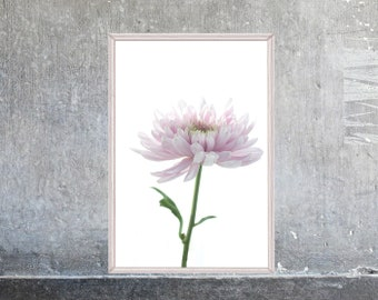 Pink Flower Wall Art, French Country Decor, Floral  Bedroom Decor, Chrysanthemum Flower Print, Gift for Woman, Flower Photography