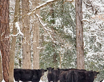 Animal Photography, Cow Photograph, Cows in Snow, Farm Animal, Winter, Snow Covered Trees, Farmhouse Decor- Snow Cows