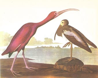 Scarlet Ibis Audubon matted for 3 sizes - framable print - for beach decor, bird print, swamp creatures, retro aviary, bird lovers Water