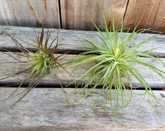 "2 pack Tillandsia Stricta Black Tip and Stricta thin leaf in bloom air plant 4"" wide"