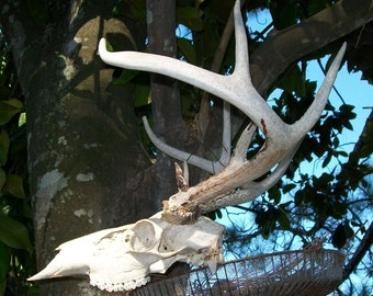 Deer Antlers 10 points Antler Western wildlife bone Deer Skull primitive hunting Texan Hunter  rustic decor Texas retro Texana Lot M-7