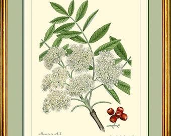 MOUNTAIN ASH - Botanical print reproduction 284