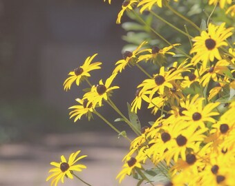 Floral Photograph, Brown-eyed Susan Flower, Yellow Flower Photo, Nature Print, Floral Bedroom Art, Wall Art for Girls, Yellow Nursery Decor