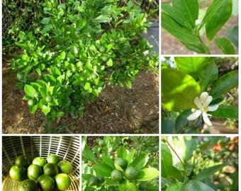 Calamansi Calamondin Lime Seeds Organically Grown Fast Shipping!