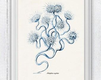 Blue seaweed  Antophisa - Antique sealife Illustration - sea life print -Marine  sea life illustration A4 print SWC016