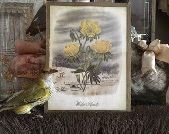 The Winter Aconite A Gorgeous Antique Litho Botanical Print Under Glass