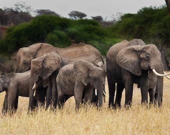 Elephants. Wildlife Images. African Elephants and Juvenile. Nature Photography. Fine Art Photography