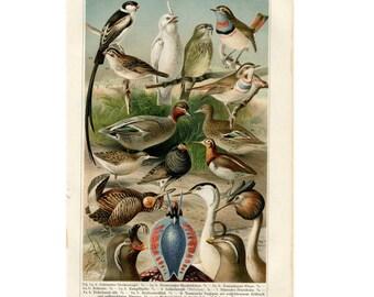 1894 DUCKS GAME BIRDS antique print original color lithograph