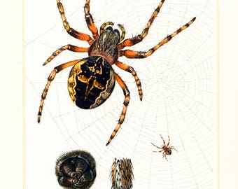 1960 Vintage Garden Spider Print. Diadem Spider lover Gift Idea. Antique Arachnid. Entomology. Natural History.