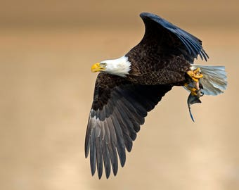 Bald Eagle  Photo Print, Large Art Print Nature Photography, Affordable Wall Art