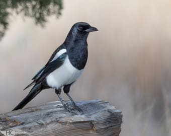 Black-billed Magpie: photo print, metal, canvas