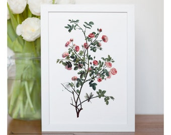 "Vintage illustration of Miniature Roses - framed fine art print, flower art, 8""x10"" ; 11""x14"", FREE SHIPPING - 111"