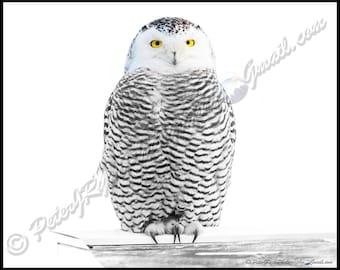 The Snowy Owl in flight, Owl, Owl photo, yellow eyes, in flight, Snowy Owl, White, Snow