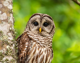 Barred owl portrait while sitting in a tree