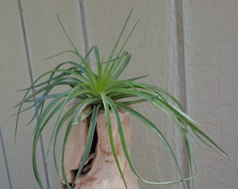"Tillandsia Stricta cv ""Cousin It"""