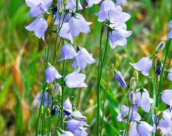 A Tangle of wildflowers,  Blue Bell Flowers, Campanula rotundifolia, Harebell Photograph or Greeting card