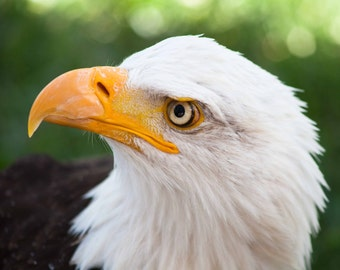 Eagles. Bald Eagle. American Eagle. Hawks. Birds of Prey. Raptors. Wildlife and Nature Photography. Liz and Rich Photography.