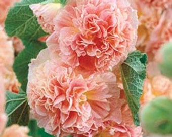 Hollyhock Seeds Peaches n Dreams Flower, 10 Seeds