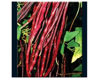 Chinese Red Noodle Bean Seeds Yard Long Bean Non-GMO Naturally Grown Open Pollinated Heirloom Gardening