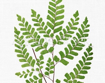 Instant Download Clipart 'Maidenhair Fern' Leaves Botanical Illustration for Craft, Wall Art, Collages, Transfers, Scrapbooking, Invites...